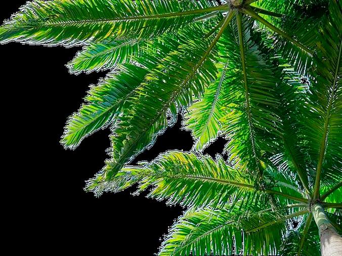 Tipos de palmeras de jardín