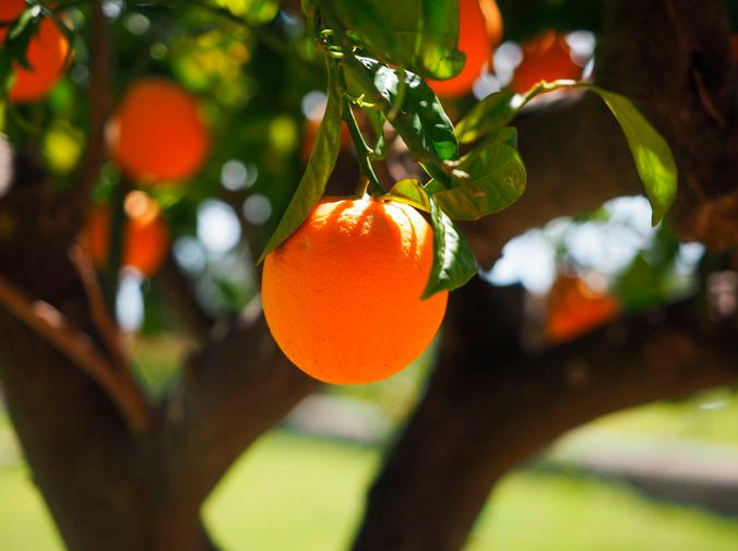 Cómo cultivar un árbol frutal para tu jardín